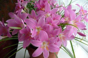 Лилия дождя зефирантес: что делать, чтобы цвела долго