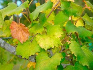 Почему листья винограда становятся желтыми и как это лечить