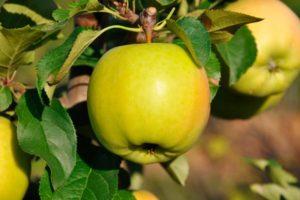Лучшие зимние сорта яблонь: свежие яблоки — весной!