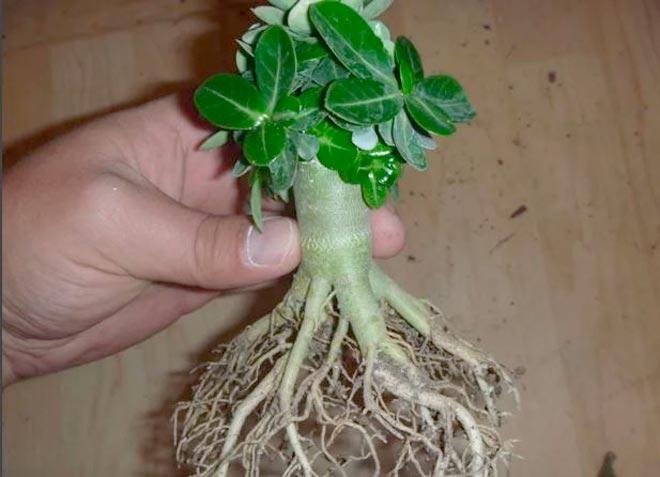 корни аденицма
