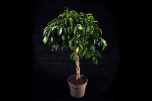Все о выращивании фикуса Анастасия
