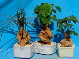 Как выращивать брахихитон