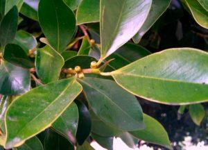 Как выращивать дельтовидный фикус в домашних условиях