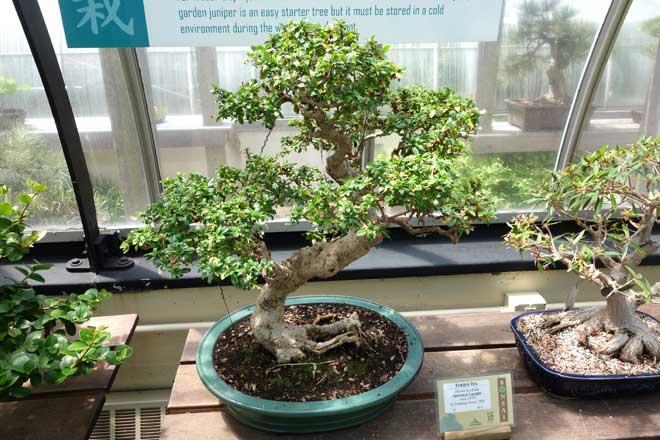 Ehretia Buxifolia