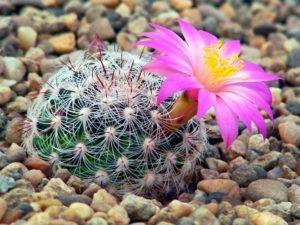 Выращивание кактуса маммиллярия дома