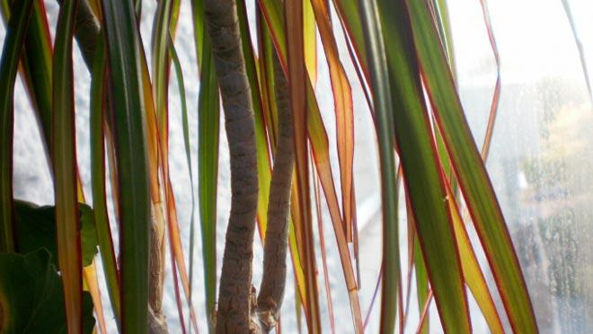 желтеют листья драцены