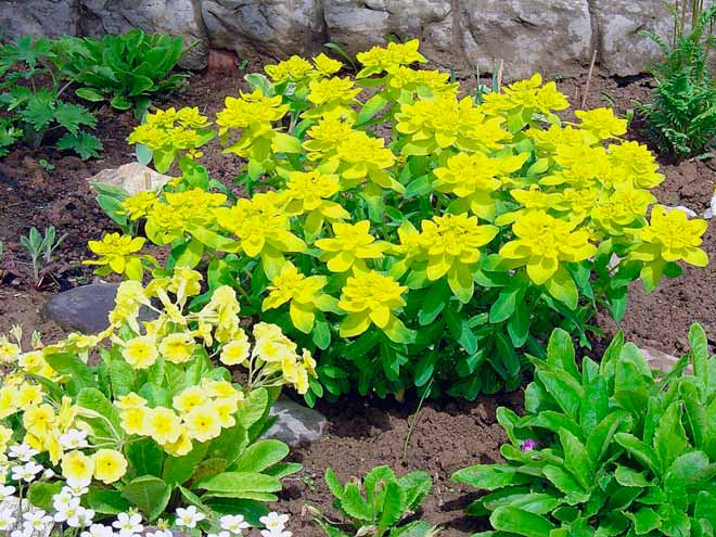 Молочай многоцветный - светлячок в вашем саду