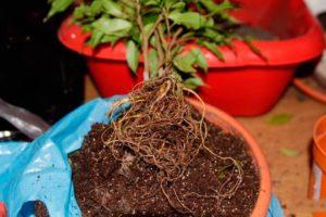 Правильная почва для фикусов