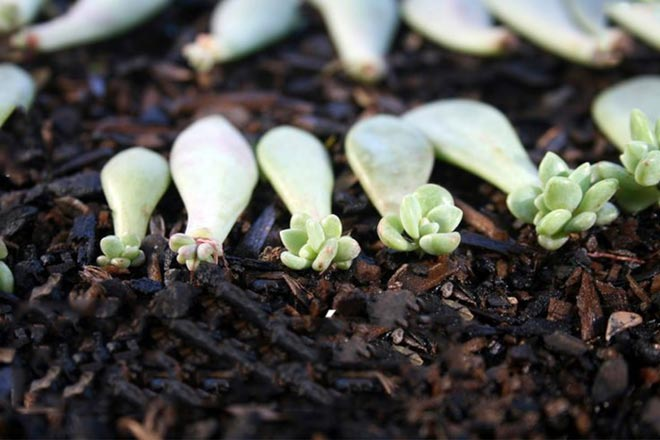 листья суккулентов