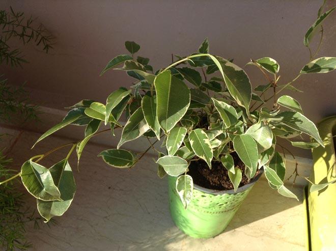 скручиваются листья у фикуса
