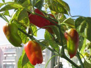 Подробное руководство по выращиванию перца на балконе