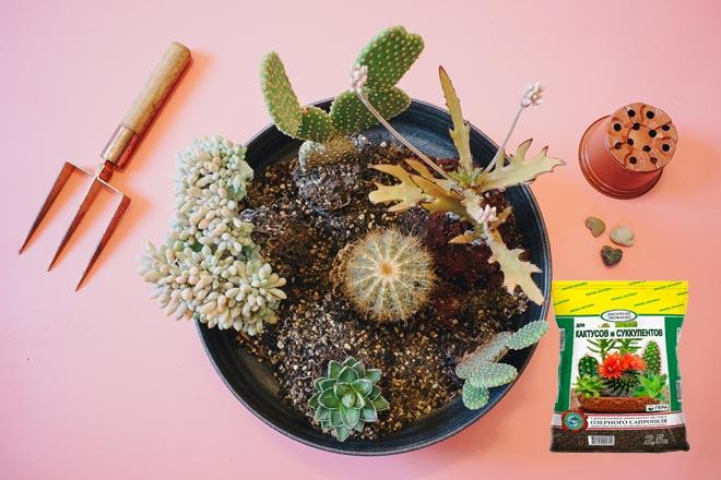 кактусы в горшке