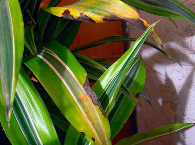 Что делать, если у драцены желтеют и падают листья