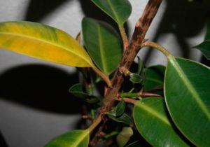 Что делать, если у фикуса желтеют и опадают листья
