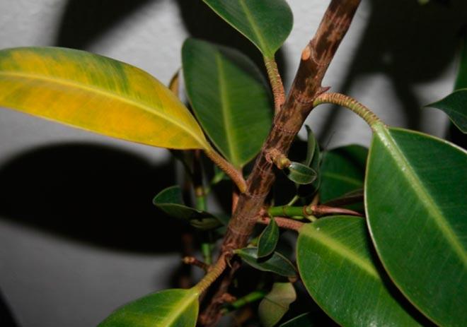 желтые листья у фикуса