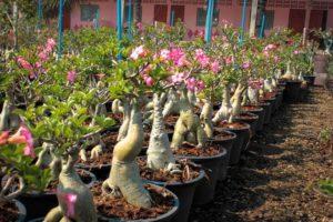 Украшение интерьера — «роза пустыни» адениум Арабикум