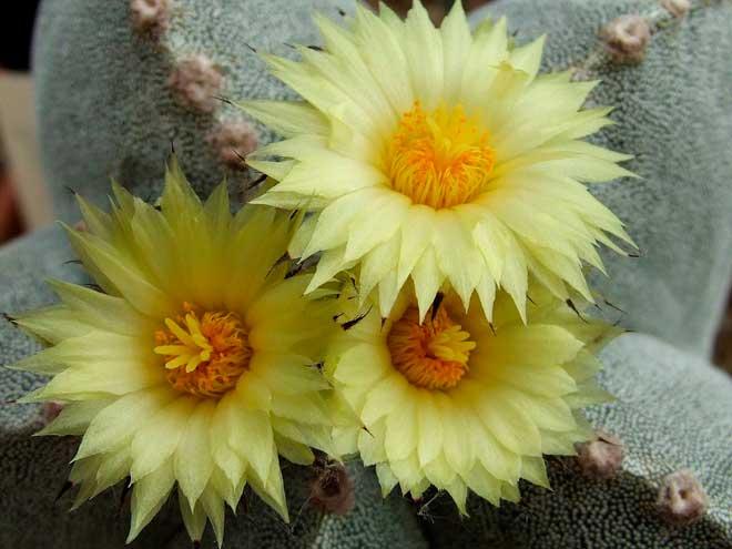 цветение астрофитума