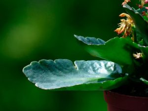 Какие болезни бывают у каланхоэ и как с ними бороться