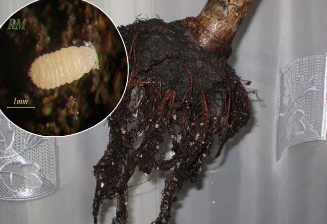 корневой червец