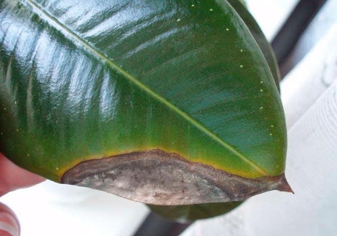 чернеют листья у фикуса