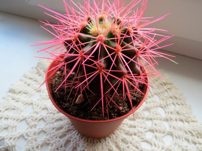 кактус с розовыми колючками