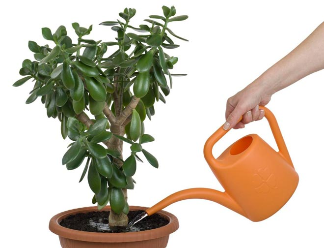 полив денежного дерева