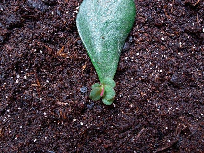 размножение толстянки листом