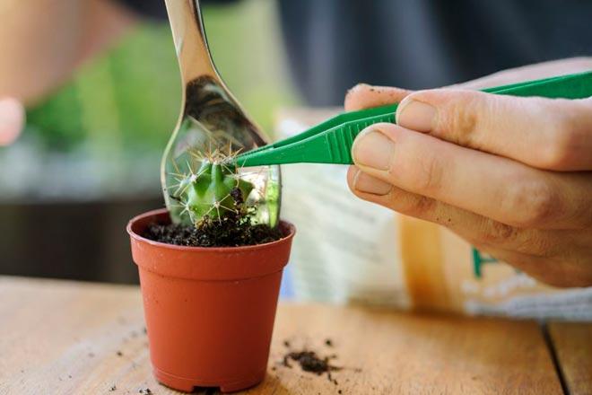 пересадка черенка кактуса