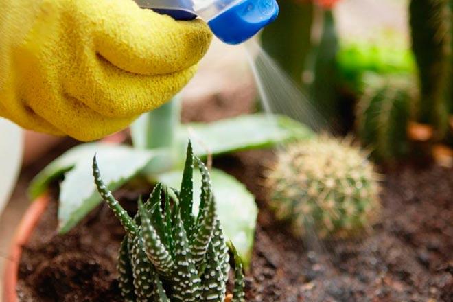 опрыскивание кактусов