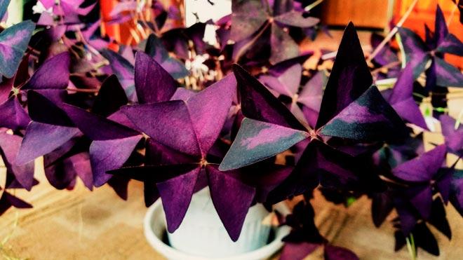 листья окалиса