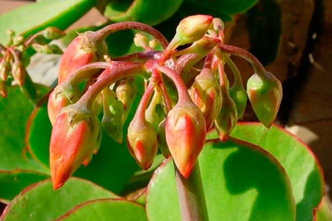 Крупноцветковый