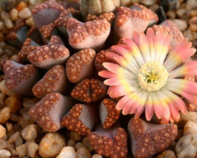 растение литопс