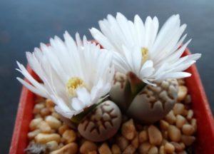 Выращивание литопсов из семян: все особенности