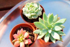 Суккуленты в доме: польза и вред