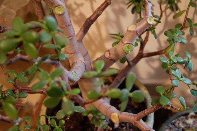 листья толстянки