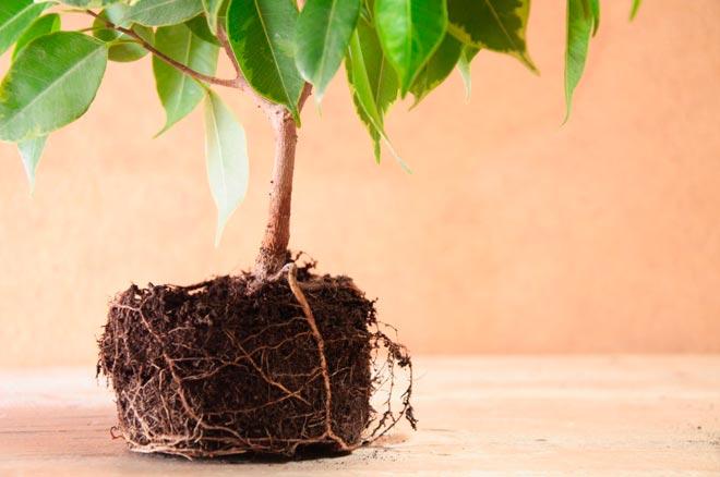 корни фикуса