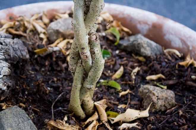 Как заплести фикус бенджамина? - правила плетения растения [2019]