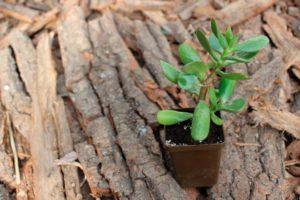 По какой причине денежное дерево может перестать расти