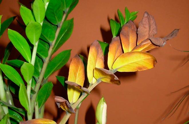 сохнут листья