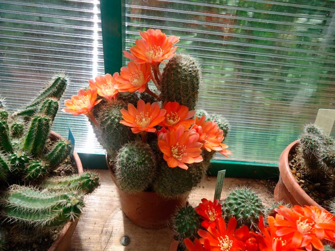 кактусы на окне