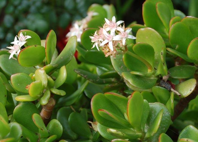 цветение крассулы