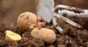 Как и чем удобрять картофель при посадке