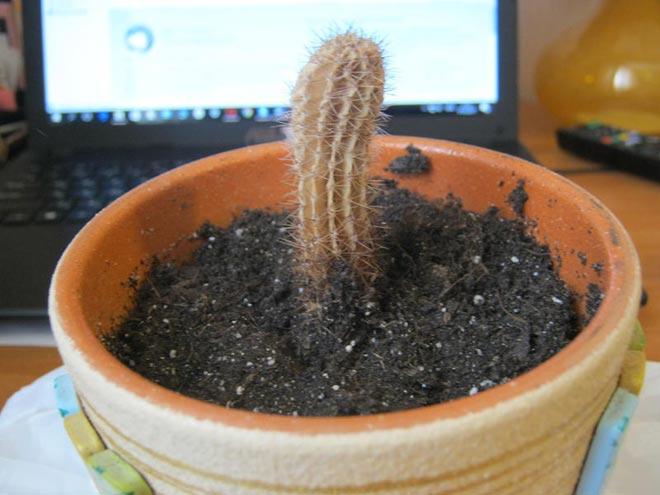 недостаток питания у кактуса