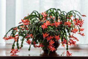Цветок Декабрист: особенности размножения и ухода в домашних условиях