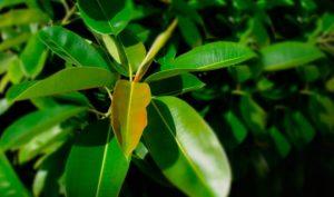 Основные принципы ухода за фикусом каучуконосным