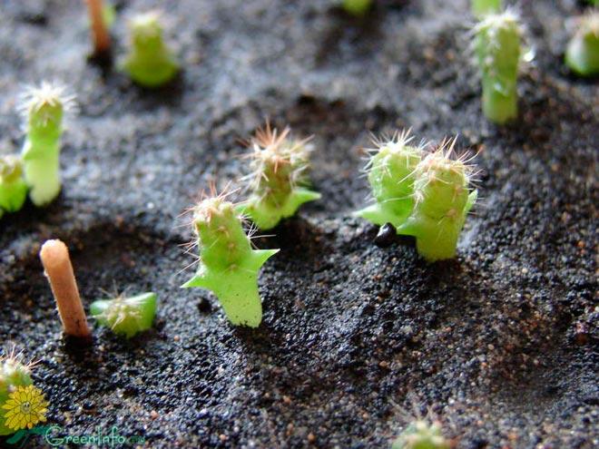 мокрая земля у кактусов