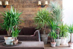Как ухаживать за пальмой юккой в домашних условиях