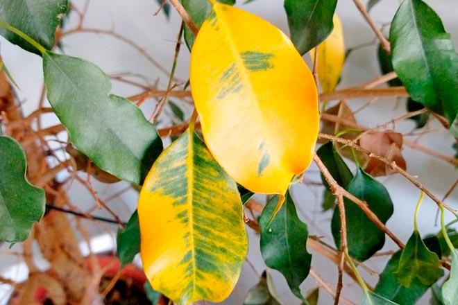 желтый лист фикуса
