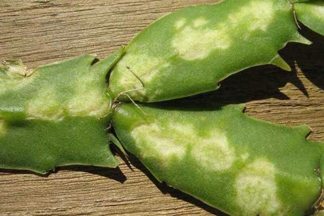 хлороз у кактуса