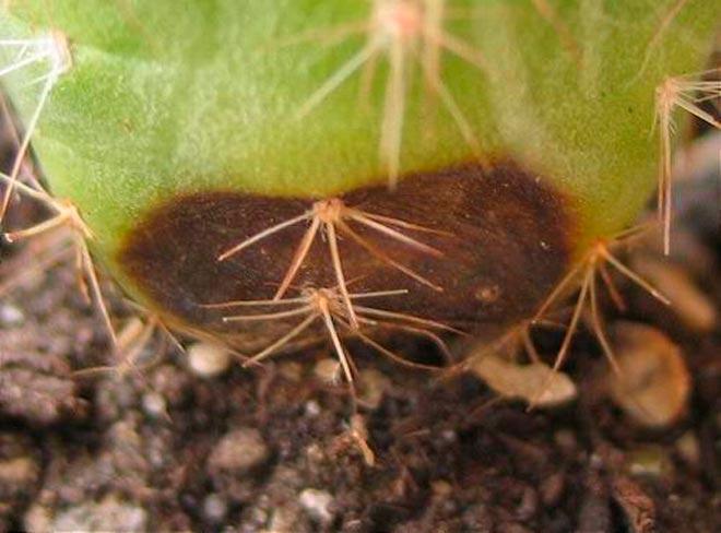 гниль кактуса